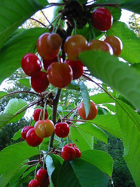 Stella cherry - Sweet and decadent mouth-watering fruit ...