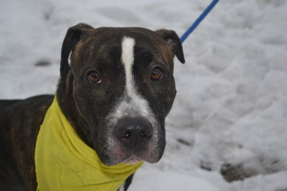 URGENT - Staten Island Center    COPPER - A0991910   FEMALE, BL BRINDLE / BROWN, AM PIT BULL TER MIX, 6 mos  OWNER SUR - AVAILABLE, NO HOLD Reason NYCHA BAN  Intake condition NONE Intake Date 02/18/2014, From NY 10304, DueOut Date 02/18/2014,  MAIN THREAD: https://www.facebook.com/photo.php?fbid=760545837291631&set=a.617941078218775.1073741869.152876678058553&type=3&theater