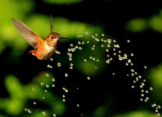 A hummingbird cools down by flying through water from a garden sprinkler. Photographer Marie Will captured the bird hovering in the spray in her garden in Oregon, USA.