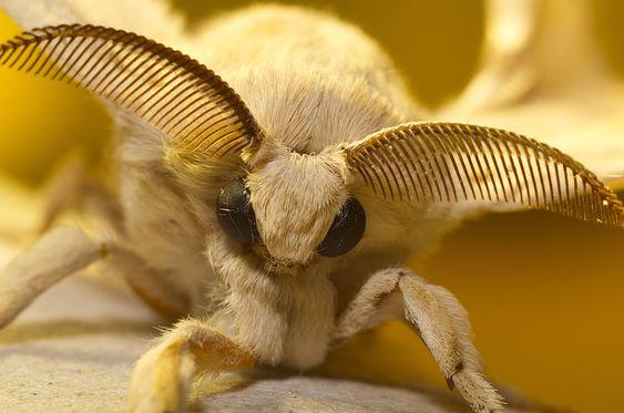 """""""Arthur sunlit"""" Arthur is a Silkworm Moth."""
