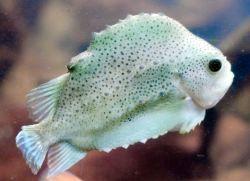 Cyclopterus lumpus (en) Lumpfish, Lumpsucker, Hen-fish, (de) Lump, Seehase, (fr) Poule de mer, (nl) Snotolf