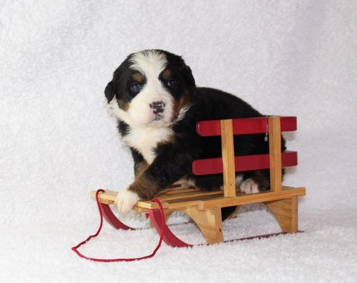 Clifford Puppy For Sale Puppies Puppies For Sale Pets For Sale