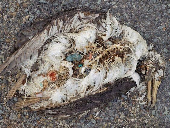 Plastik in den Eingeweiden einer toten Möwe