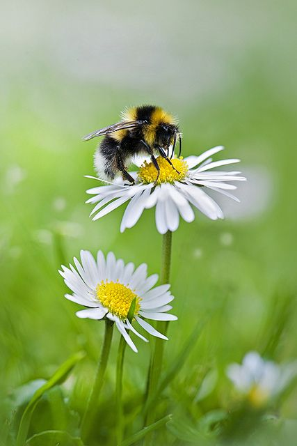 Honey Bee & Daisies: