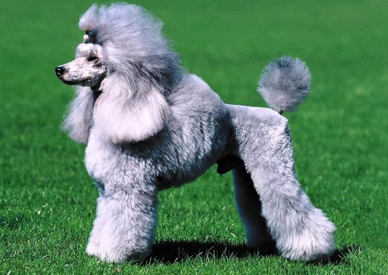The poodle or poodle is a breed of dog that from the fifteenth century to the present day is considered used exclusively for the luxury of aristocrats and nobles. Known for their woolly coat and curly varieties exist: giant, medium, dwarf and miniature or toy. Until the Renaissance, this was a water retriever: recovering and hunted prey that had fallen into the water, like ducks and swans