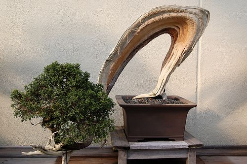 Slanted Bonsai by ctankcycles, via Flickr