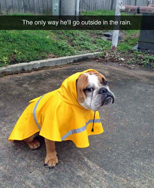 Dog who refuses to go out in the rain without his fab raincoat. | 35 Dogs That Will Make Your Day Instantly Better