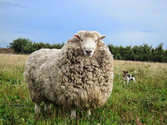 Shrek, The Sheep Shearing, que escapó de 6 años | Planeta Divertido