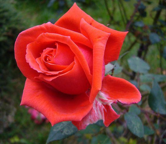 Still in fine form..... by Blossom's mom, via Flickr