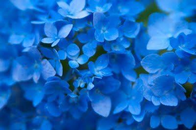 Blue, Blue Hydrangeas