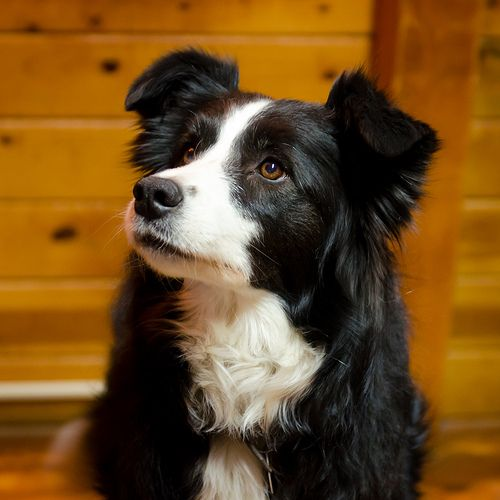 Mango Collie Dog Best Dogs Border Collie Dog