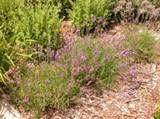 Lavender augustifolia