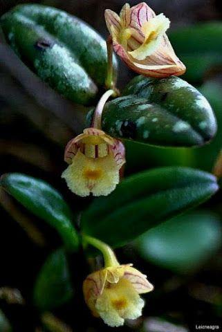 Orquídea selvagem em Sumatra