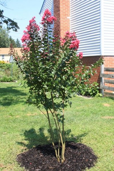Small trees crepes and small yards on pinterest for Small trees for small yards