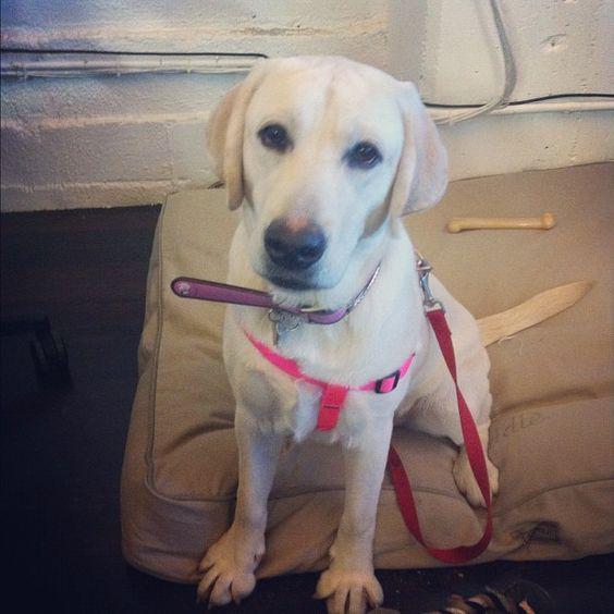 Addie, new puppy @TaskRabbit HQ