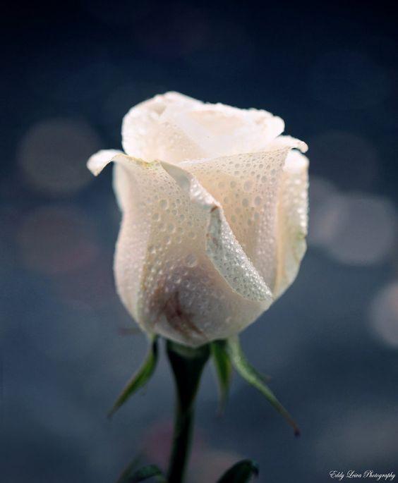 white rose: