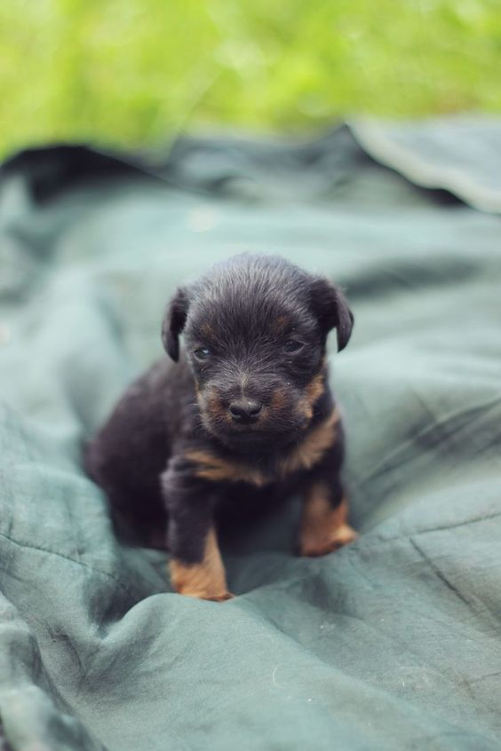 Jagdterrier Puppy, Lithuania, vintage colors, dogs, german hunting terrier
