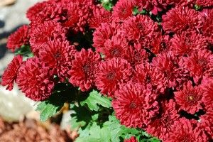 Chrysanthemum  is a perennial flowering plant native to Asia and northeastern Europe. The name Chrysanthemum is derived from the Greek, chrysos (gold) and anthos (flower). benzene Trichloroethylene Formaldehyde.