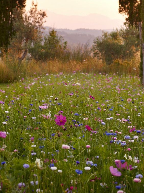 Tuscan garden by Arabella Lennox Boyd. Bachelor Buttons and cosmos.