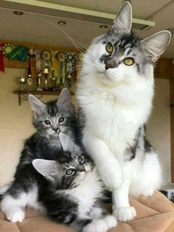 Pin On Tabby Cats
