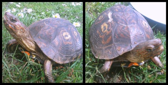 Mr. T. Newest addition to my family. #lifecompanion #toocute #turtle #love