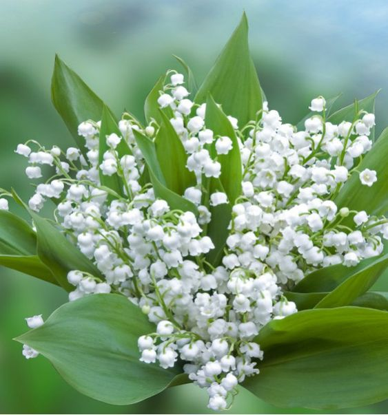 Fleurs en ligne Jacques Briant : MUGUET BLANC, arbres, potagers, rosiers, vivaces, arbustes, fruitiers, bulbes pour jardin, terrasse, balcon réussis !