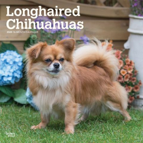 Longhaired Chihuahuas 2020 Calendar The Chihuahua Is The Smallest
