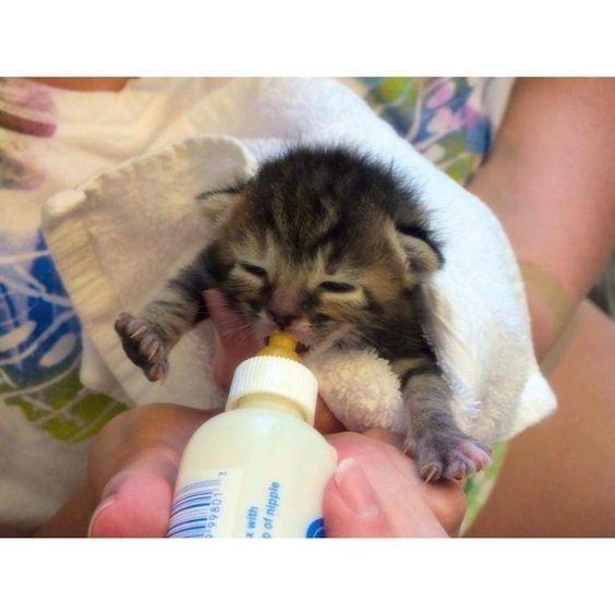 12 Adorable Kittens Enjoying Their Bottle Of Milk Kittens Cutest Feeding Kittens Kittens