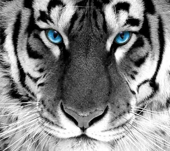 Beautiful Tiger face with piercing blue eyes. | Tigers ...