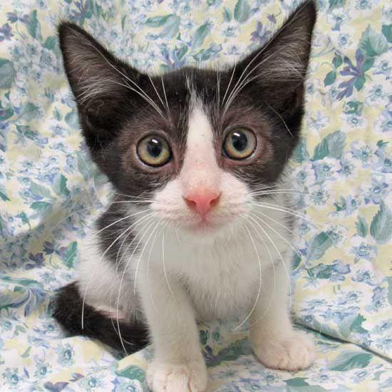 Cat Kittens For Adoption In San Diego Kitten Adoption Cat Adoption Animals