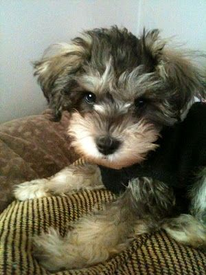 my cute schnoodle puppy