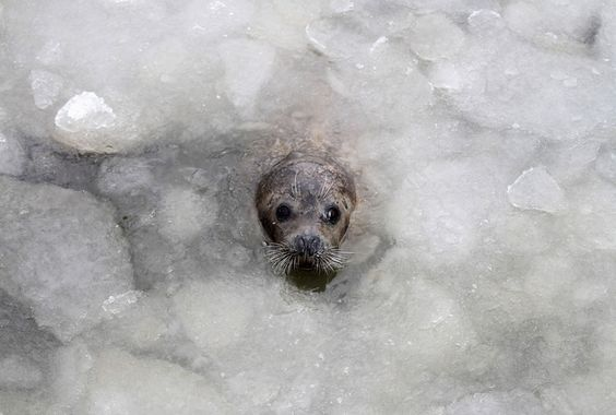 A spotted seal swims in a partly frozen lake at Dongpaotai Park in Yantai, Shandong province, China, on December 25, 2012.