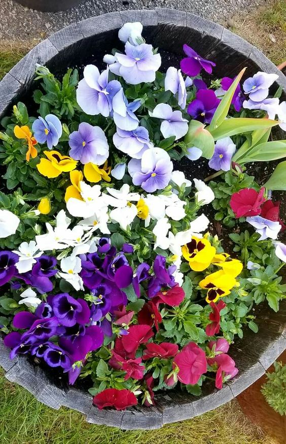 What To Do With Pansies After Flowering In 2020 Pansies Flowers Container Flowers Pansies