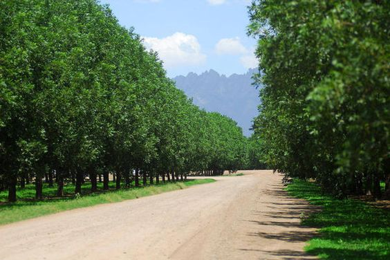 Las Cruces Pecan Trees