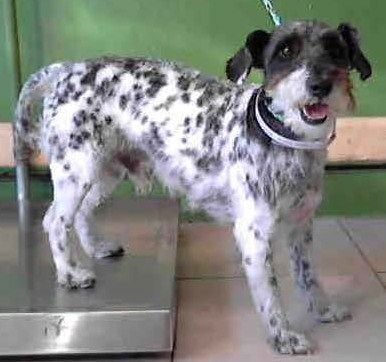 Schultze, darling and unusual spotted wire fox terrier/schnauzer mix, needs a home! http://www.petfinder.com/petdetail/28525667/