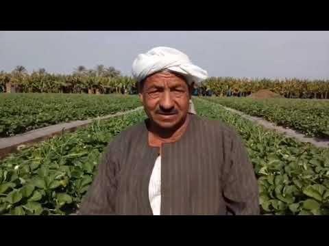 زراعة الفراولة اسرار زراعة الفراولة خبراء زراعة الفراولة في مصر Youtube