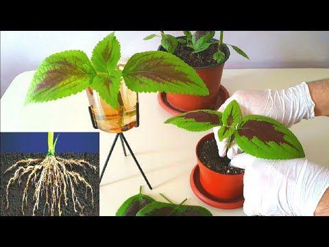 إكثار نبات السجاد بطريقتين بالماء بالتربة Youtube Plants