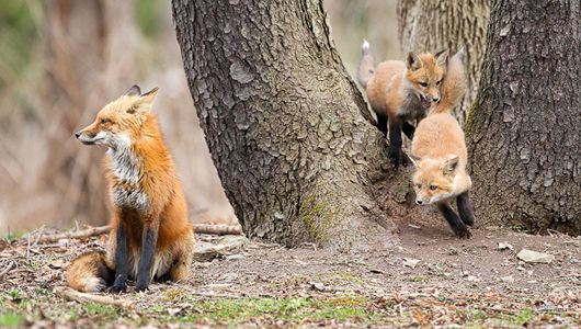 Wildlife in suburbia: Photographer watches fox kits grow up
