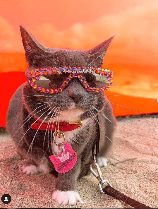 Pin On Cats Dressed In Sunglasses