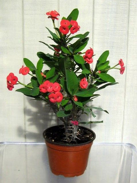 how to train crown of thorns plant