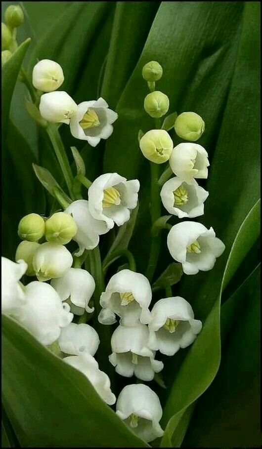 Lily of the Valley. Smells so good.