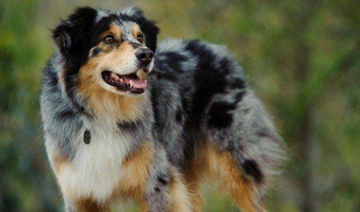 Pin On Australian Shepherd Dogs