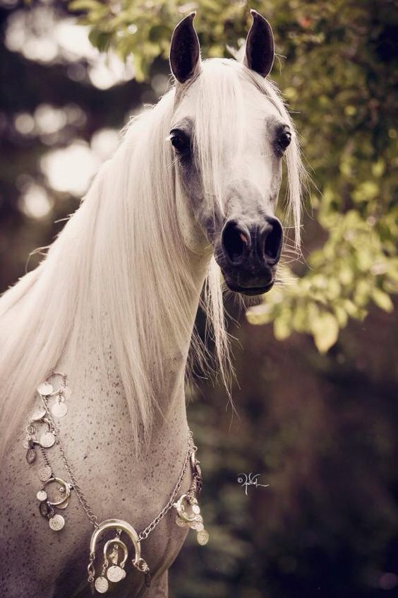 Arabian horse all dressed up