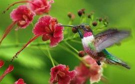 Beija-Flor e a Flor - papel de parede para download
