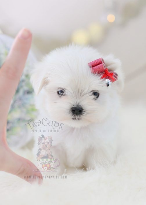 Maltese Puppy For Sale 362 Teacup Puppie Maltese Puppy For Sale