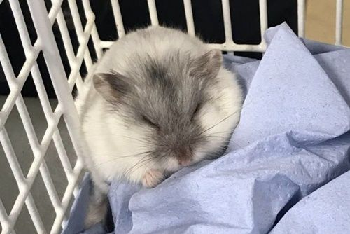 Posted January 6 2019 After A Cat Living In A Cardiff Uk Neighborhood Brought Home A Pet Hamster Everyone Is Asking The Big Qu Pets Hamster Hamsters As Pets