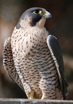 Halcón Peregrino – Aves de Chile http://www.mascotadomestica.com/especies-de-aves/halcon-peregrino-aves-de-chile.html