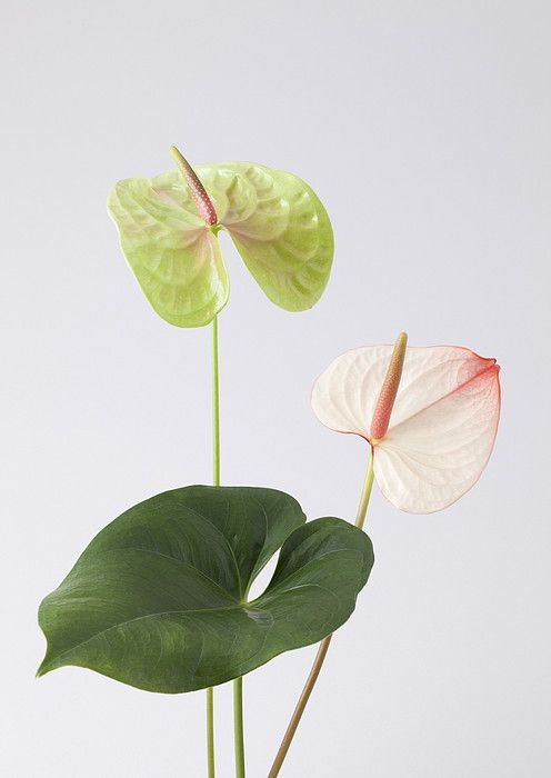 Anthurium By Sozaijiten Datacraft Plant Aesthetic Planting Flowers Watercolor Flowers
