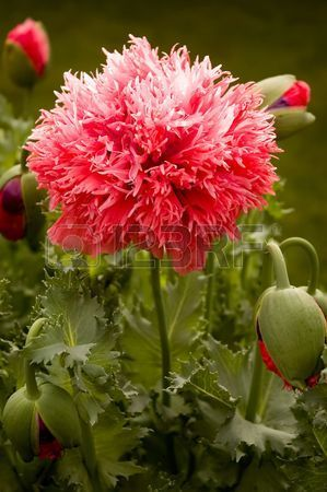 A red Peony Poppy Papaver somniferum var paeoniflorum in bloom  Stock Photo Papaver Somniferum = Opium poppy Papaver Peoniflorum = Garden poppy Papaver Setigerum = Wild opium poppy