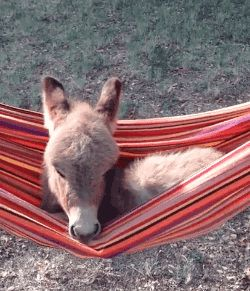 Miniature Donkey Relaxes in Hammock.